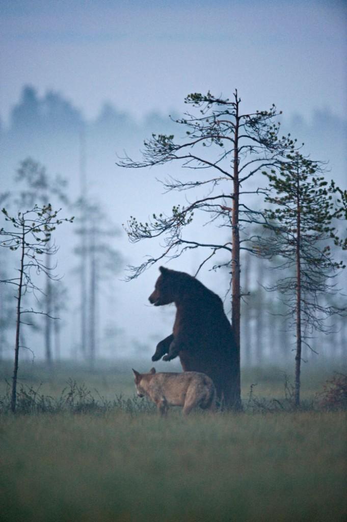 rare-animal-friendship-gray-wolf-brown-bear-lassi-rautiainen-finland-131