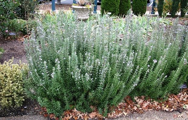 Cây hương thảo có thể phòng chống bệnh tim mạch.