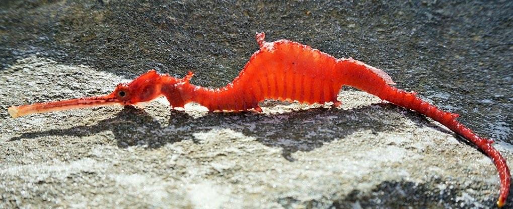 ruby-seahorse_web_1024