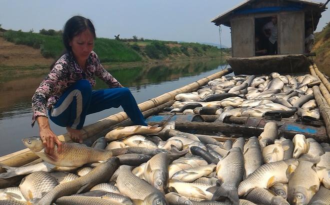 Cá trắm trên sông Bưởi đến kỳ thu hoạch, trọng lượng trung bình từ 2 đến 4 kg chết hàng loạt.