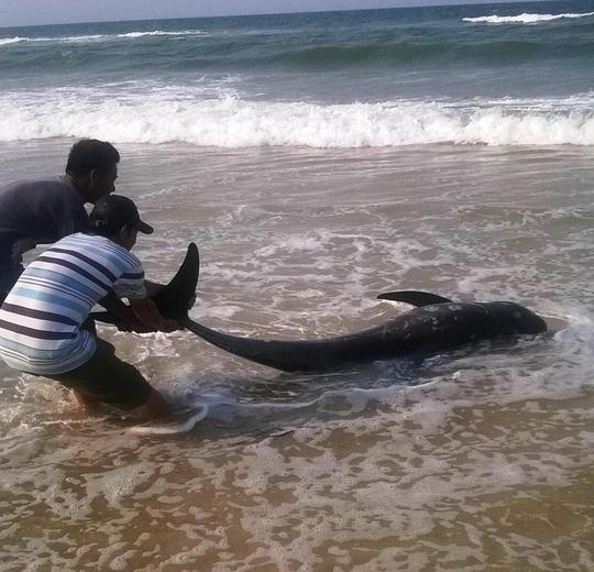 Cá voi vừa chết bất thường trôi vào biển Thừa Thiên- Huế.