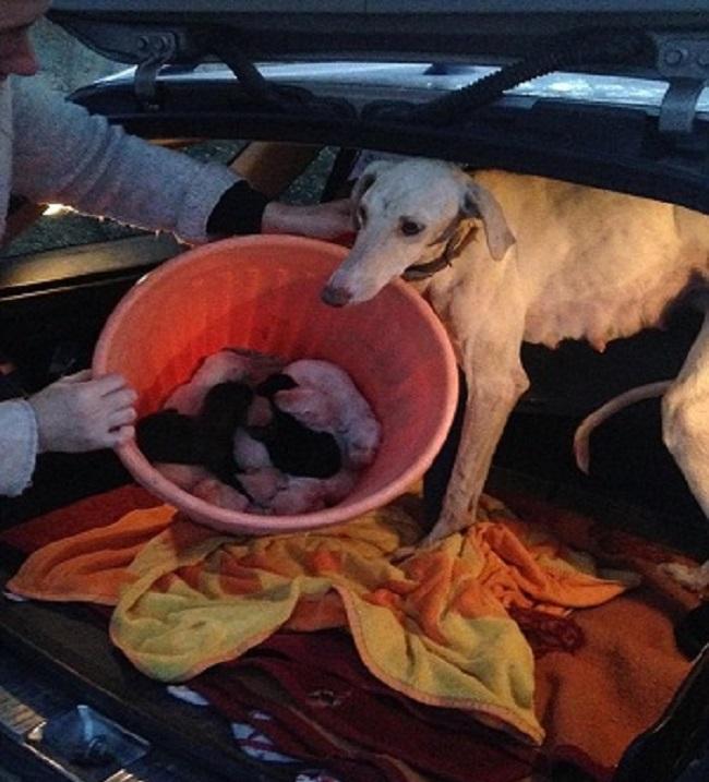 Chó mẹ gãy chân lết hơn 3km tìm người chăm sóc đàn con..2