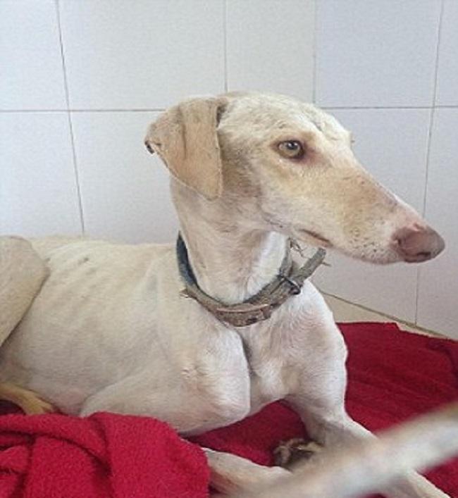 Chó mẹ gãy chân lết hơn 3km tìm người chăm sóc đàn con.3