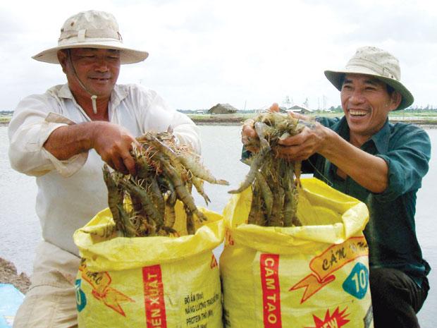 Giá tôm nguyên liệu tăng cao kỷ lục khiến nông dân xã Hòa Thành, TP.Cà Mau rất phấn khởi.