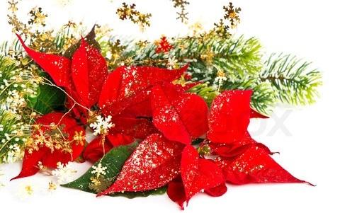 Truyền thuyết về các loài cây trang trí mùa Giáng Sinh - Hoa trạng nguyên