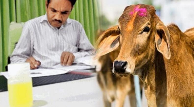 Nước tiểu bò Gir ở Ấn Độ chứa vàng thật và làm thuốc chữa bệnh.1