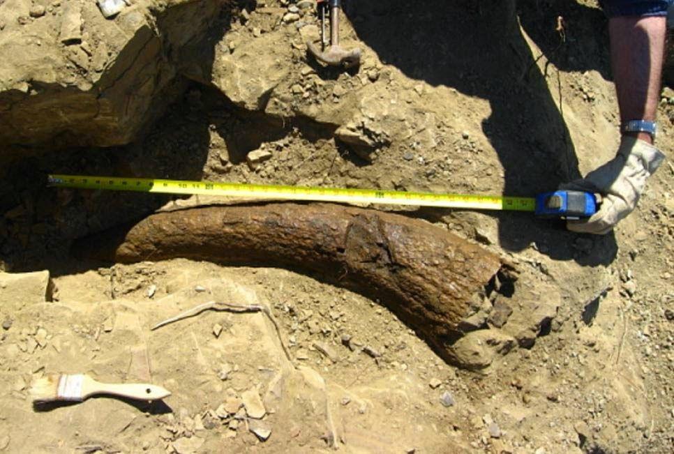 Chiếc tù và chứng minh loài người từng cưỡi khủng long 33.500 năm trước? - ảnh 1