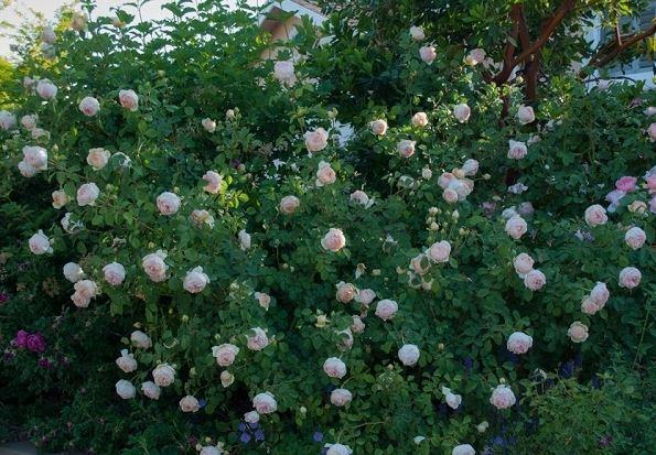 Sân vườn đẹp mê li với 5 loại hoa hồng ngoại dễ trồng - H4