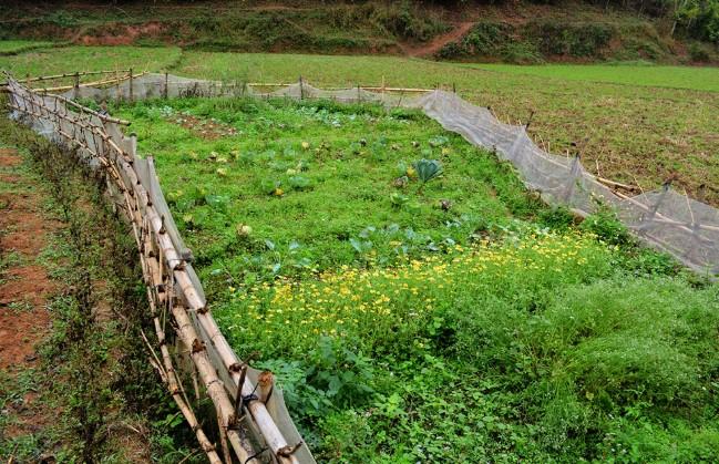 Hoa màu được trồng trong thôn