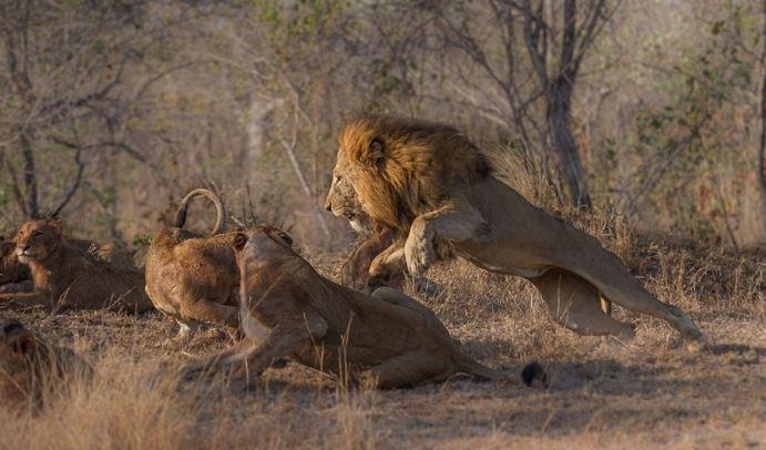 Sư tử đầu đàn bắt nạt sư tử con để tranh bữa ăn - H3