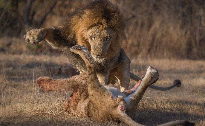 Sư tử đầu đàn bắt nạt sư tử con để tranh bữa ăn - H4