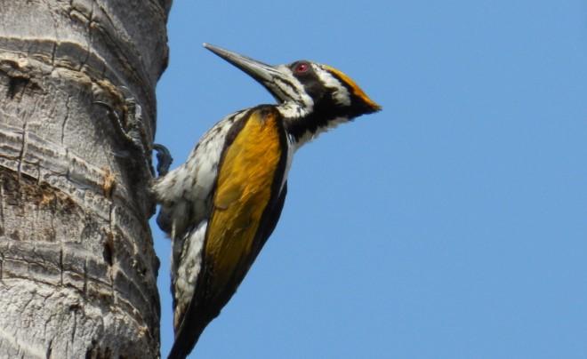 Loài chim gõ kiến và những khám phá cực thú vị,. 8