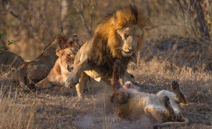 Sư tử đầu đàn bắt nạt sư tử con để tranh bữa ăn - H5