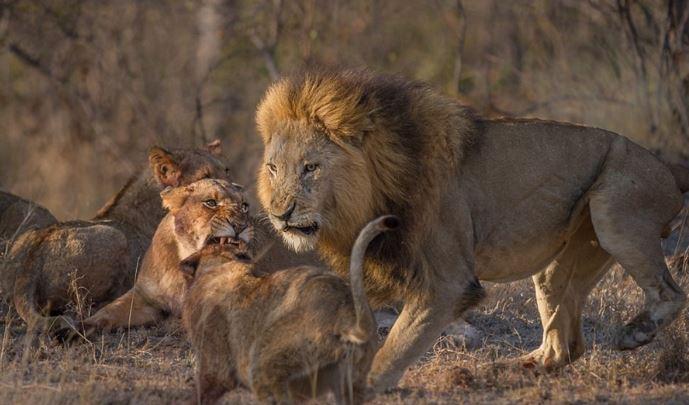 Sư tử đầu đàn bắt nạt sư tử con để tranh bữa ăn - H6