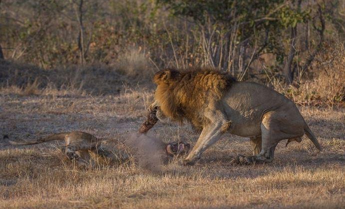 Sư tử đầu đàn bắt nạt sư tử con để tranh bữa ăn - H7