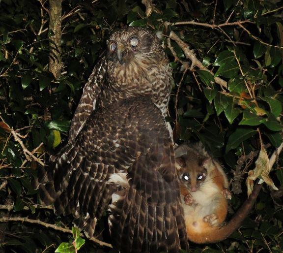 Chim cú khổng lồ săn thú có túi trong đêm ngoạn mục - H3