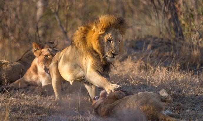 Sư tử đầu đàn bắt nạt sư tử con để tranh bữa ăn - H8