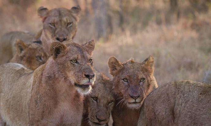 Sư tử đầu đàn bắt nạt sư tử con để tranh bữa ăn - H9