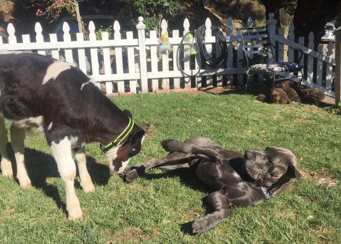 Goliath, con bê được cứu sống nghĩ mình là một con chó - H3