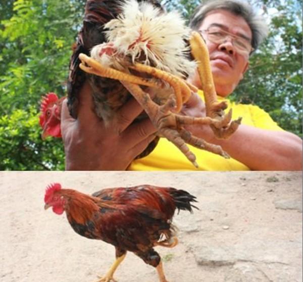 Chuyện lạ, những chú gà 4 chân trên khắp đất nước Việt Nam - H3