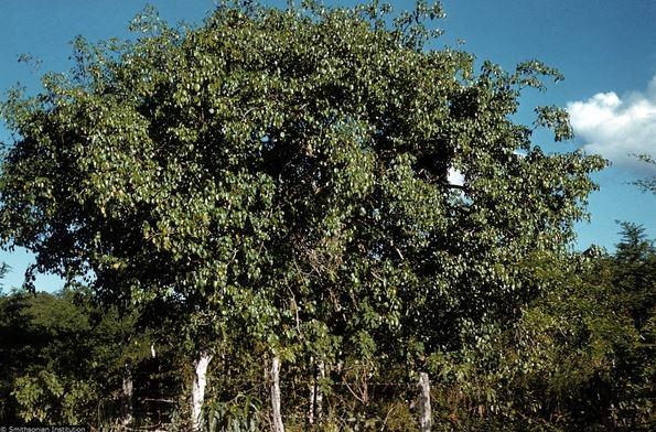 Cận cảnh loài cây nguy hiểm nhất hành tinh: Chỉ đứng cạnh cũng chết
