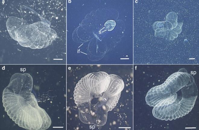 """Sinh vật biển """"người chở xác"""" lần đầu xuất hiện sau 100 năm - H3"""