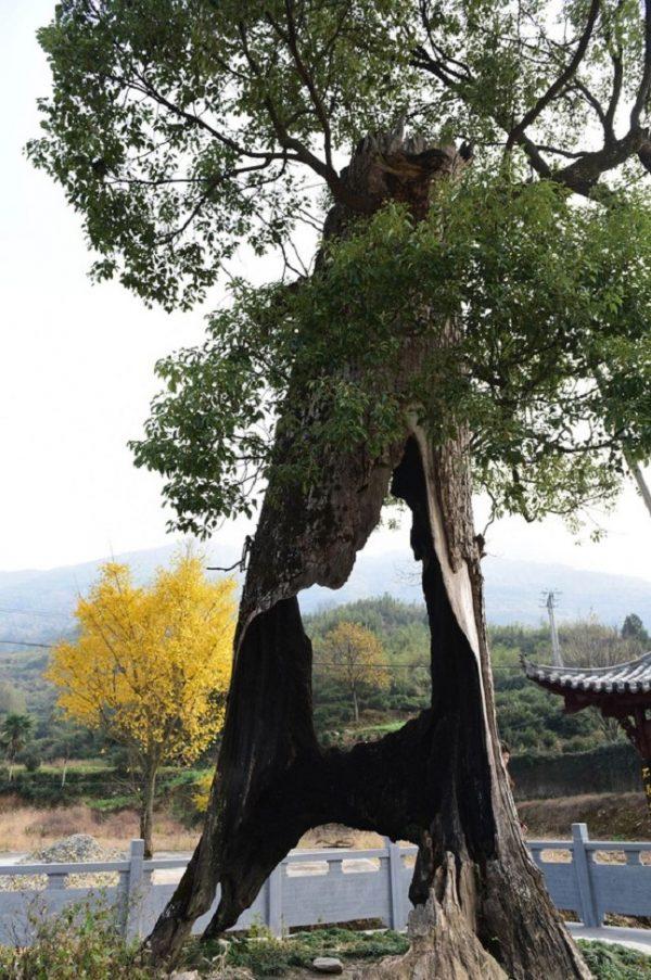 Kỳ lạ cây cổ thụ 300 năm tuổi bị rỗng ruột vẫn sống sót chỉ nhờ... hai mảnh vỏ.5