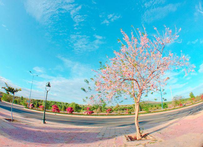 Mùa hoa tùy theo thời tiết từng vùng màkéo dài đến 1 -2 tháng.