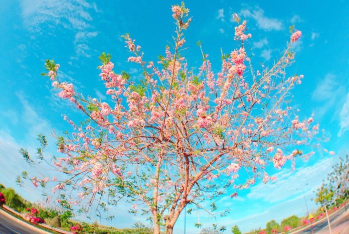 CâyGliricidia maculatathuộchọ đậu (Fabaceae) có từ rừng tự nhiên châu Mỹ,đến Việt Nam theo con đường thực dân của người Pháp.Như nhiều loài cây khác, cuối đông là mùa của đỗ mai trụi lá để xuân đến trổ hoa và lá non.