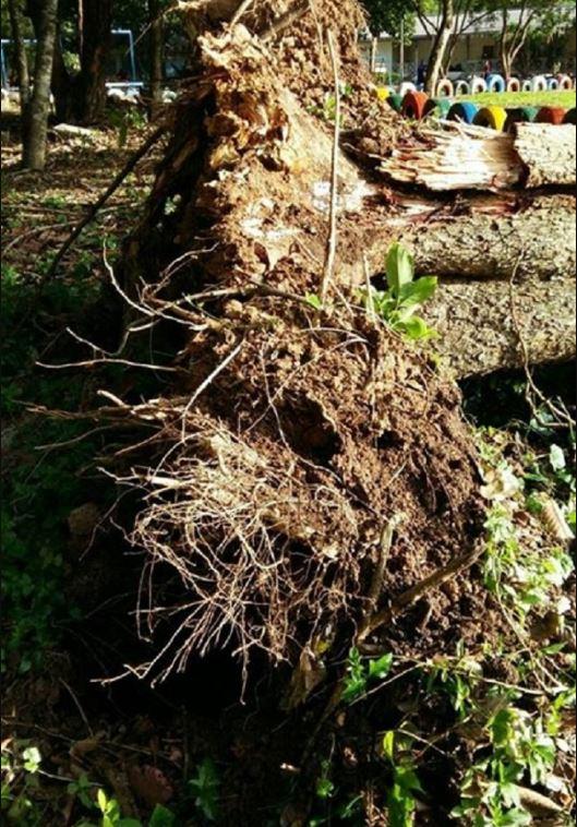 Cây cổ thụ đột nhiên bật rễ, hình ảnh hiện trường sau đó vô cùng thê thảm - H4