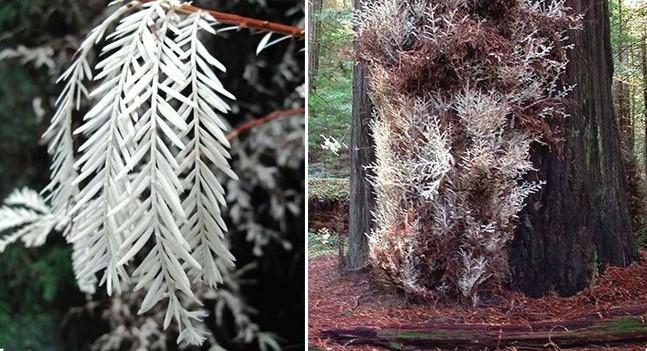 """Cây bạch tạng lớn nhất thế giới được gọi là """"cây gỗ đỏ ma"""", thuộc loài cây gỗ đỏ ở California"""