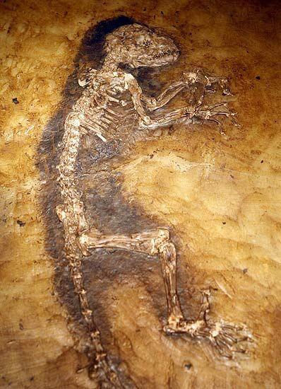 Sự thật về hóa thạch Ida: Tổ tiên loài người hay chỉ là một con vượn cáo? - ảnh 3