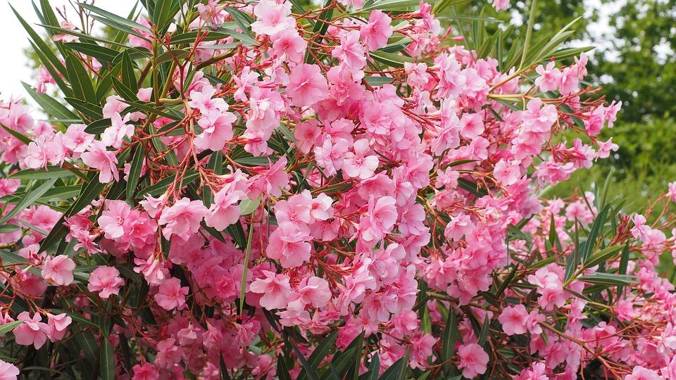 Mùa Xuân cẩn thận tránh chưng những cây hoa gây độc.2