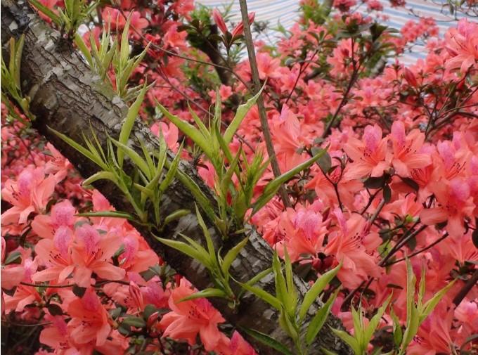Mùa Xuân cẩn thận tránh chưng những cây hoa gây độc.1
