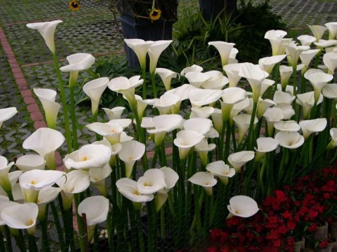 Mùa Xuân cẩn thận tránh chưng những cây hoa gây độc.7