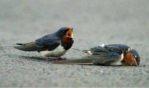 Sự trung trinh của chim nhạn: Tình yêu đích thực, sống chết chỉ một bạn đời