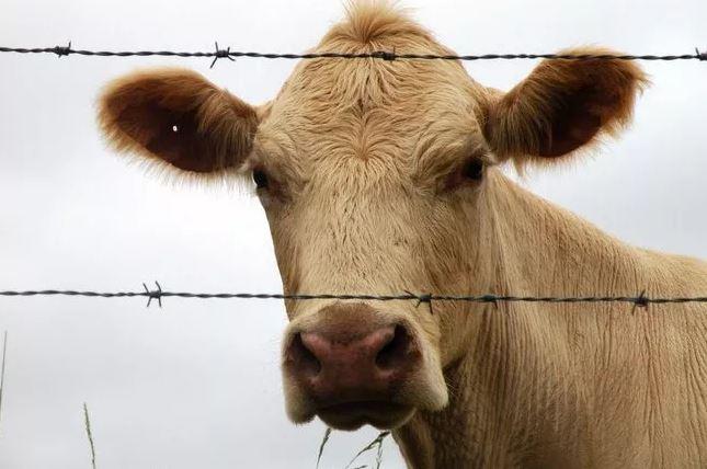 Con bò vô tội bị tình nghi giết chết anh Azeez Salako ở Nigeria
