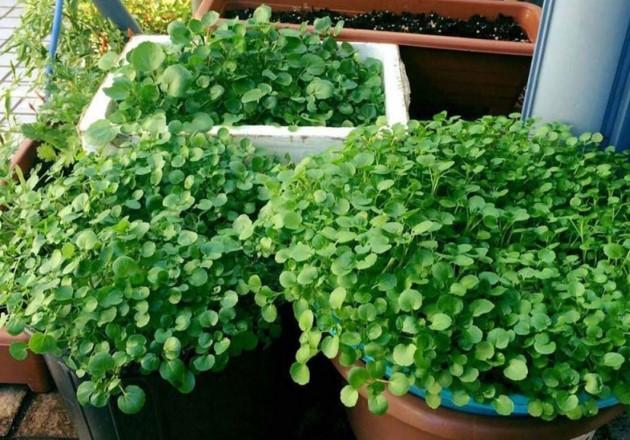 Làm vườn sẽ tuyệt vời hơn với 12 loại cây tự gieo trồng
