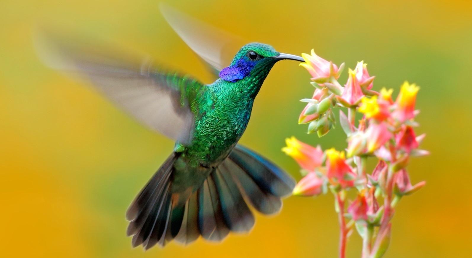 Sự thật về loài chim ruồi và ý nghĩa biểu tượng của nó.