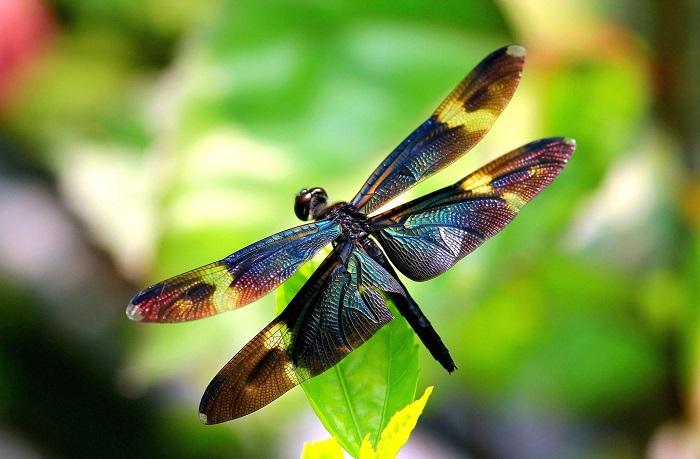 Khám phá ý nghĩa biểu tượng của chuồn chuồn trên khắp thế giới - H1