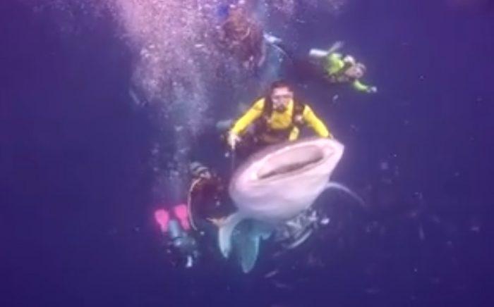 Nhóm thợ lặn cưỡi cá mập voi để chụp hình tự sướng.1