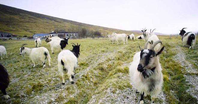 Dê Iceland được những người Viking mang đến Iceland từ hàng trăm năm trước, lông của chúng có thể sản xuất ra những sợi len cashmere tinh tế.