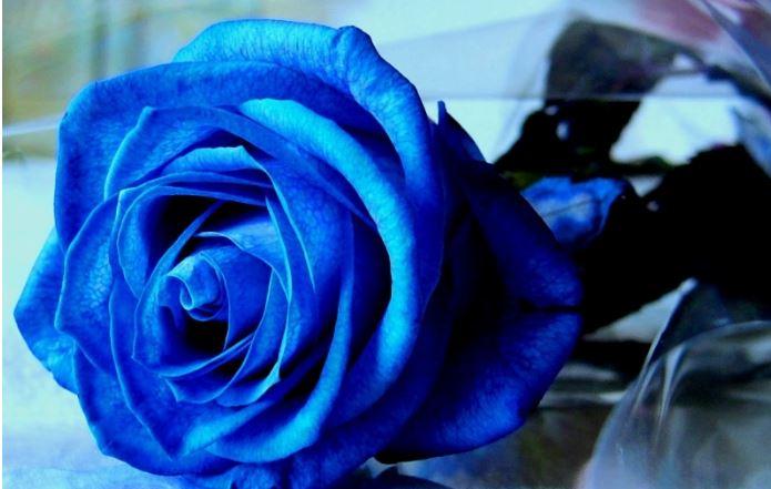 Cánh của hoa hồng xanh rất đẹp và màu xanh của nó thì rất kì diệu