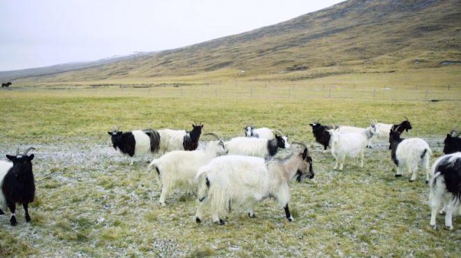 Trong vài năm trời, loài dê Iceland đã rơi vào cảnh bên bờ tuyệt chủng.