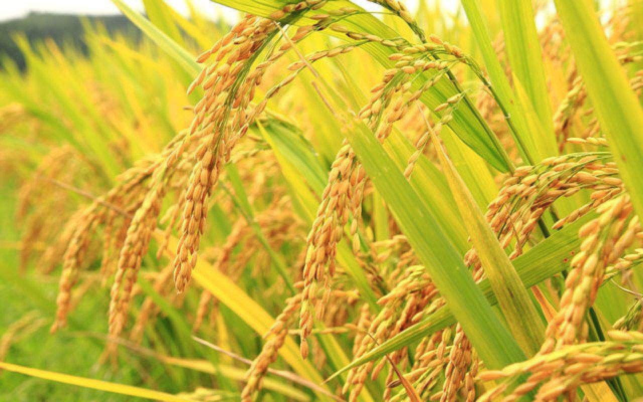 Hạt gạo tiên ban, ai ơi hãy trân trọng! Ảnh 1