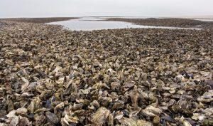 Bờ biển Đan Mạch bị hàu xâm chiếm, chính phủ chào đón người dân Trung Quốc đến ăn