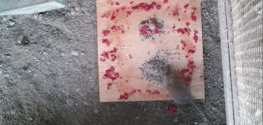 Bẫy chuột bằng loại ớt cay nhất thế giới, chuyên gia Mỹ thu được kết quả bất ngờ