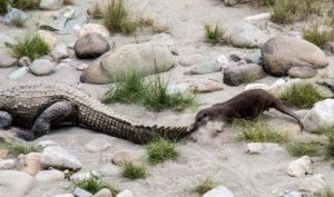 Cận cảnh rái cá Amazon săn cá sấu (Video)