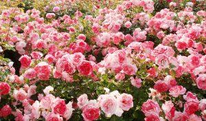 Bài thuốc quý không đâu xa nằm trong chính khu vườn hoa nhà bạn