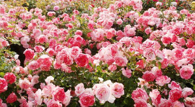 Bài thuốc quý không đâu xa nằm trong chính khu vườn hoa nhà bạn - H1
